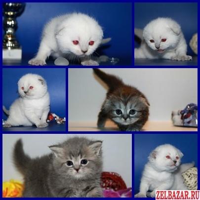 Британские,  Шотландские -Элитные котята
