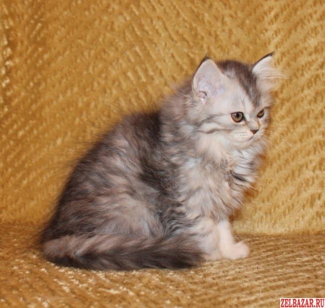 Кошечка «Хайленд страйт»