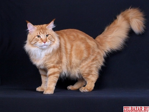 Мейн-кун котята!  Вам будут завидовать!