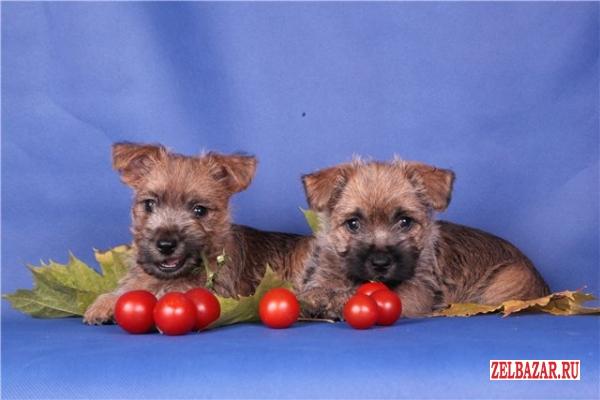очаровательные щенки керн-терьера