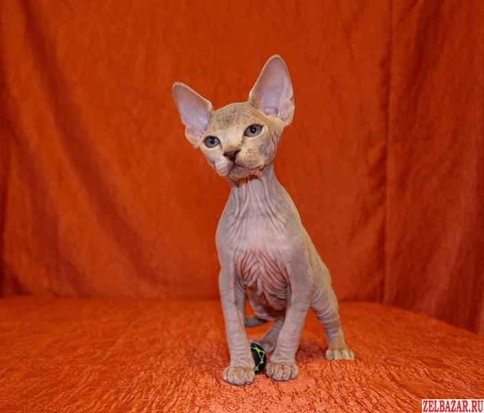 Продам котят Канадский сфинкс Hot Skin