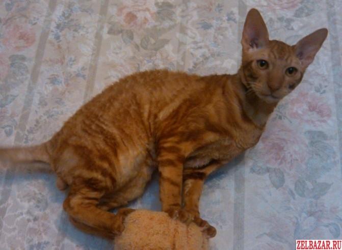 Пропал кот Корниш рекс рыжий