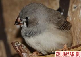 Птенцы Зебровых Амадинов