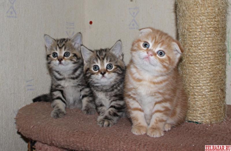 Шотландские котята (черный и красный мрамор)