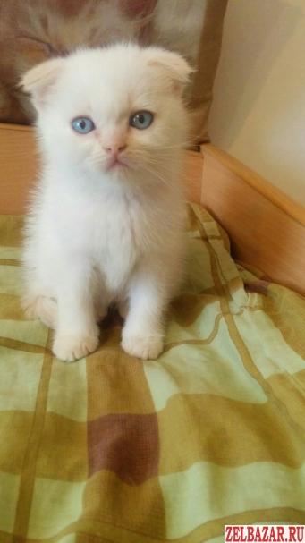 Шотландские котята(скоттиш-фолд,  скоттиш-страйт)