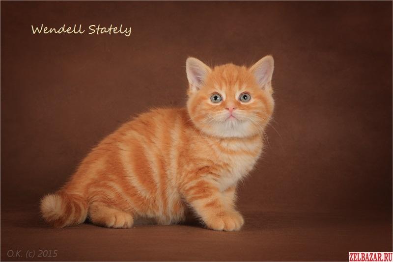 Шотландский котик - красный мрамор