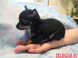 Той-терьера щенки гладкошерстные