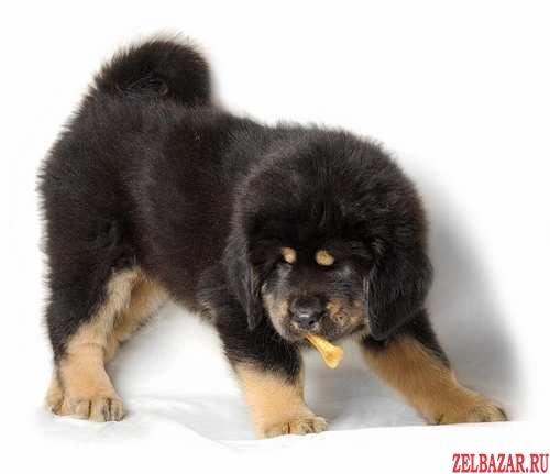 Великолепные щенки Тибетского мастифа !
