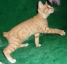 Не дорого котята Курильского бобтейла