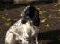 Русского спаниеля щенков от рабочих собак продаю