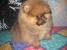 Щенок шпица померанского миниатюрного